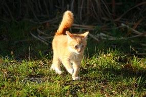 young red cat with fluffy tail