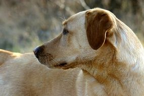 Portrait of Labrador Dog