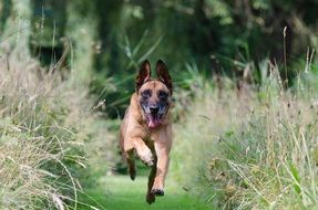 running Belgian shepherd dog