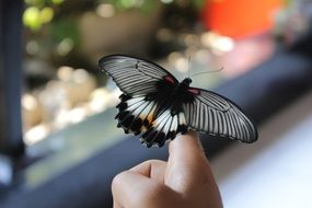 beautiful butterfly on the human finger