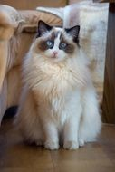 Sweet Ragdoll cat