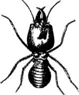 black and white drawing of a beetle