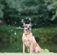 dog in soap bubbles