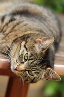 lazy domestic tabby cat resting