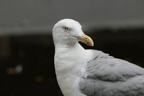 big herring gull