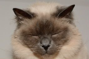sleepy sacred birman cat
