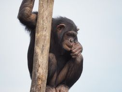 chimpanzee is sitting on a tree