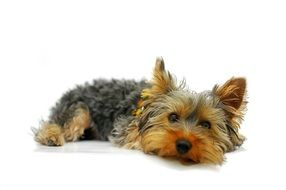 Yorkshire Terrier laying cute portrait