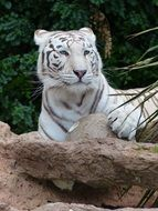 wondrous White Bengal Tiger
