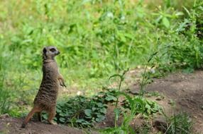Picture of the meerkat in natural life