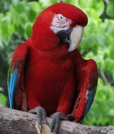 perched red macaw