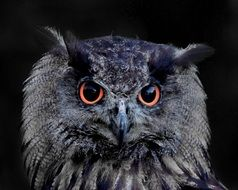 eurasian eagle european owl with burning eyes