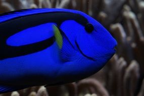 Palette Surgeonfish in reef