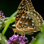 great spangled fritillary on the flower
