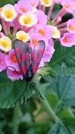 butterfly with transparent wings on a pink flower
