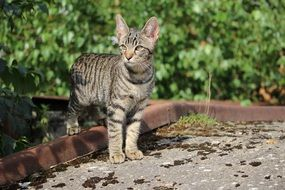 young mackerel cat outdoor
