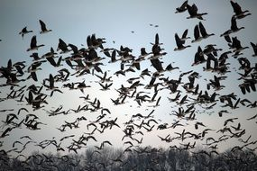 migrating flock of wild geese