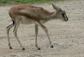 gazelle baby in wildlife