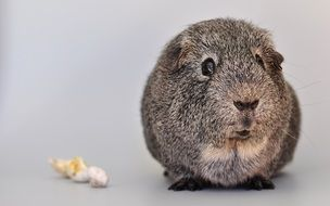 silver grey guinea pig with smooth hair