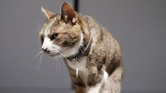 domestic cat with collar