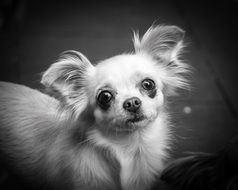 chihuahua portrait in black and white