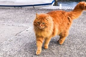 young Orange fluffy Cat walking straight