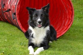 Border Collie on the grass