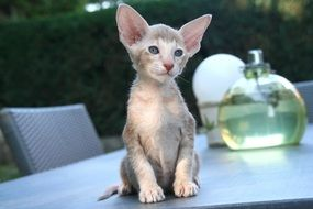 kitten with big ears is sitting on the table