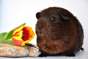 brown guinea pig and tulip