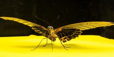 isolated butterfly on a yellow surface
