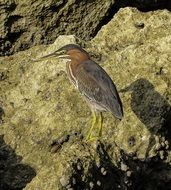 heron on the beach stone