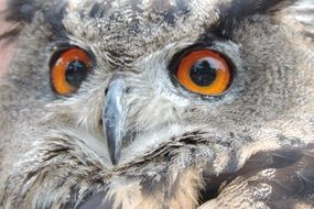 portrait of a gray owl with bright eyes