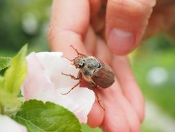 maybug on the delicate pink flower