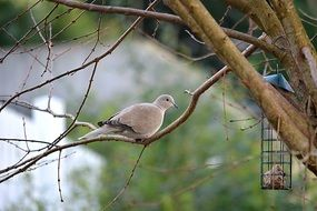 white dove on a branch