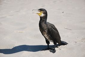 cormorant in natural environment