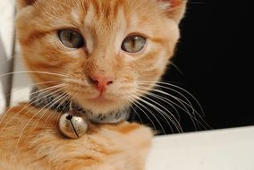 ginger kitten with long whiskers close up