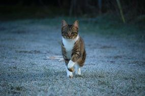 domestic cat walking on the frosted grass