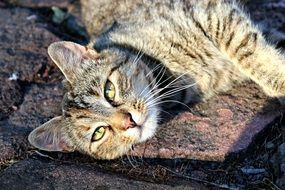 adorable and cute Tabby Cat
