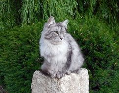 grey fluffy domestic cat