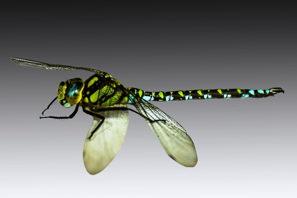 isolated flying dragonfly