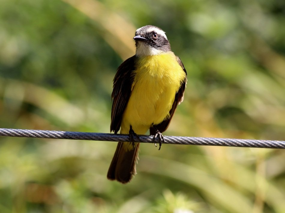 bird with yellow breast on the wire