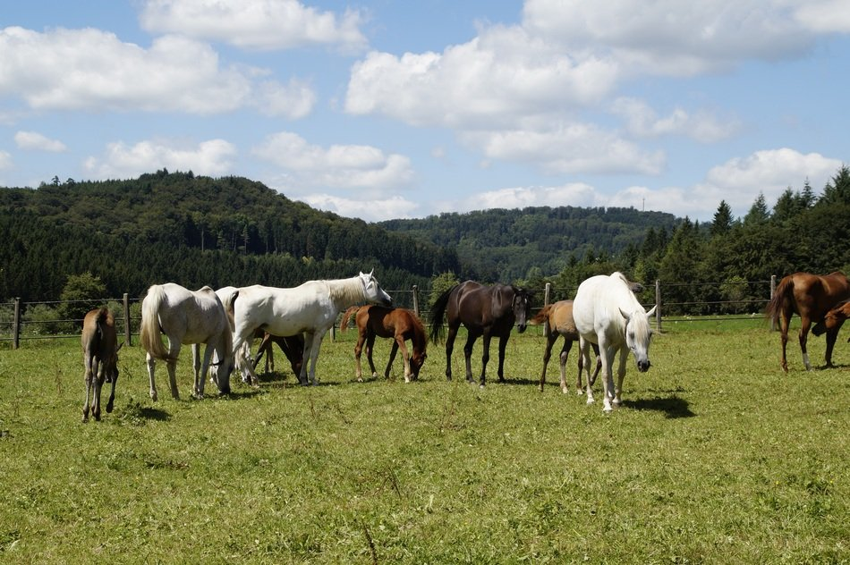 herd of horses on the meadow