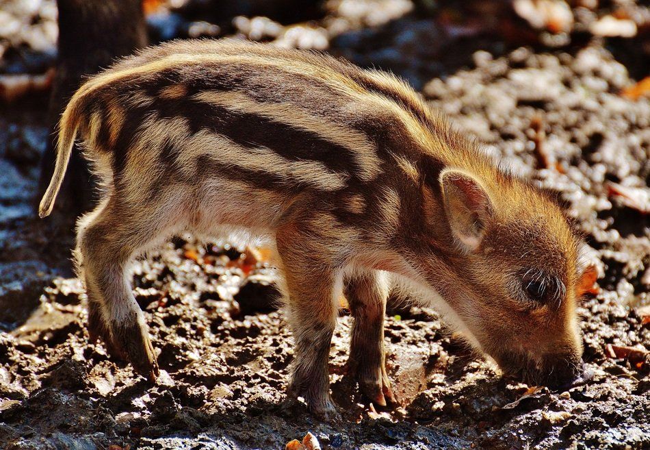 funny wild piglet in the wildpark poing