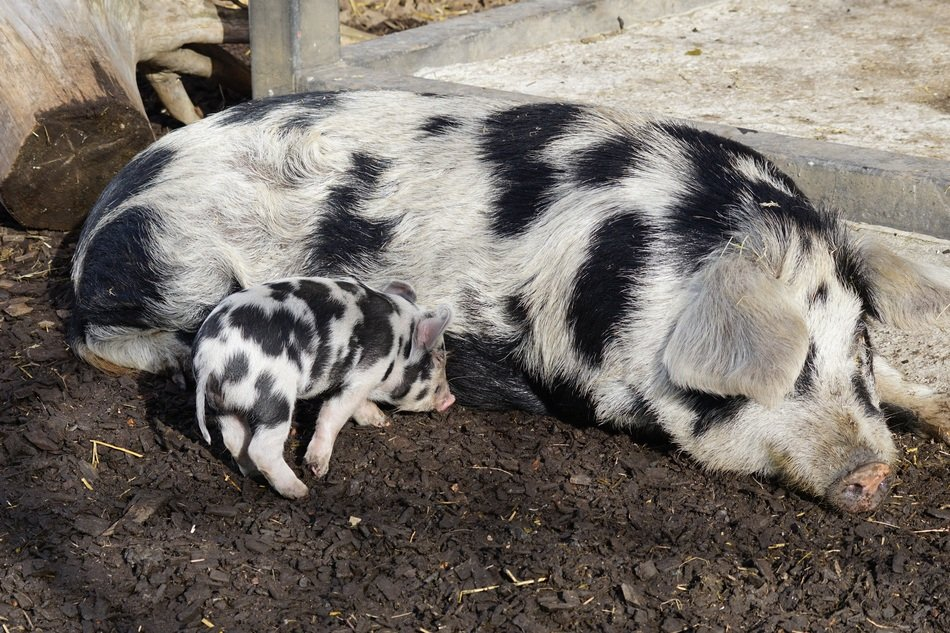 domestic pig with a pig on the ground