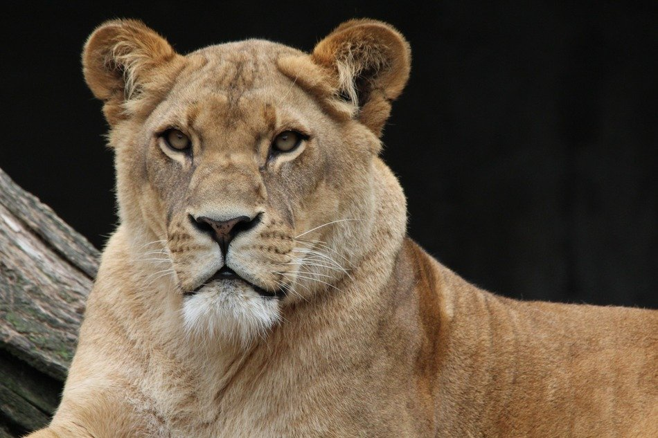 portrait of a majestic lioness