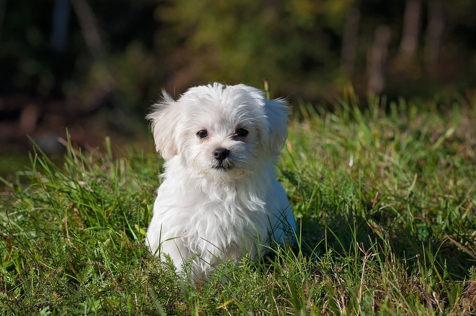 young fluffy white dog