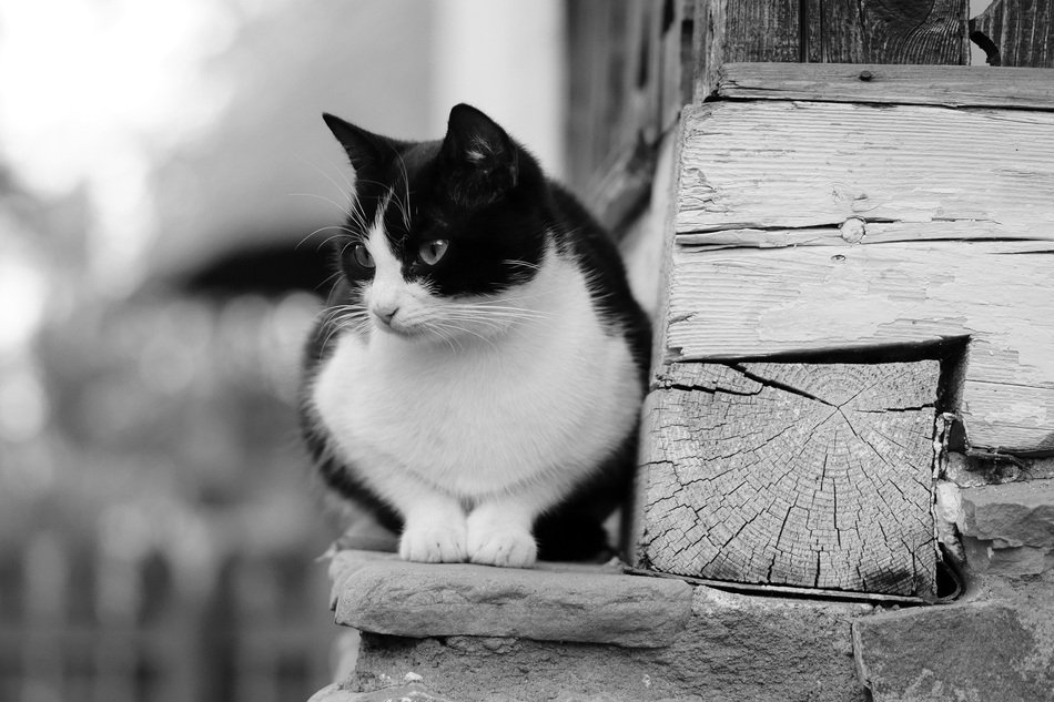 black and white photo of a kitten near a wooden house