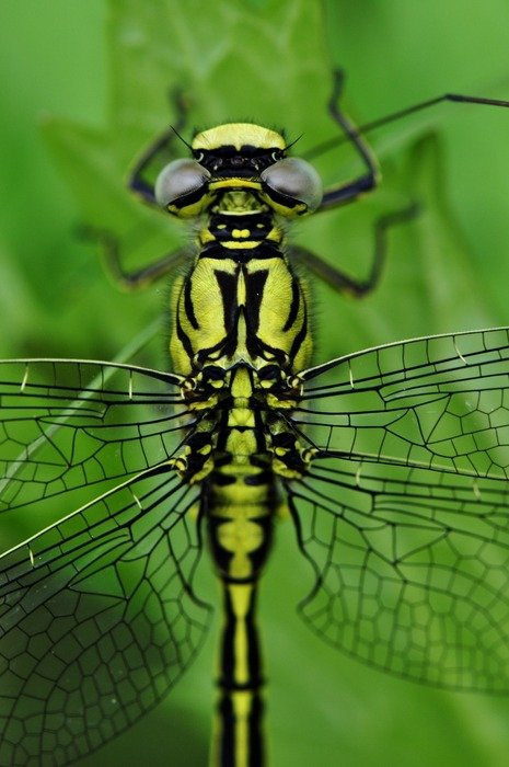 closeup of a filigreed yellow green dragonfly