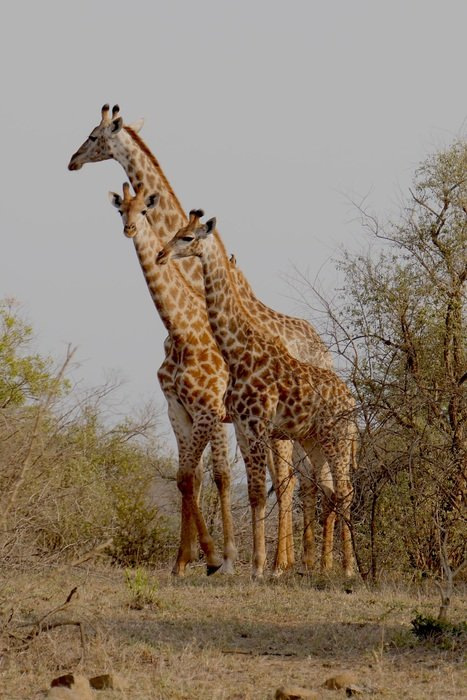 family of giraffes in the Hluhluwe–Imfolozi park