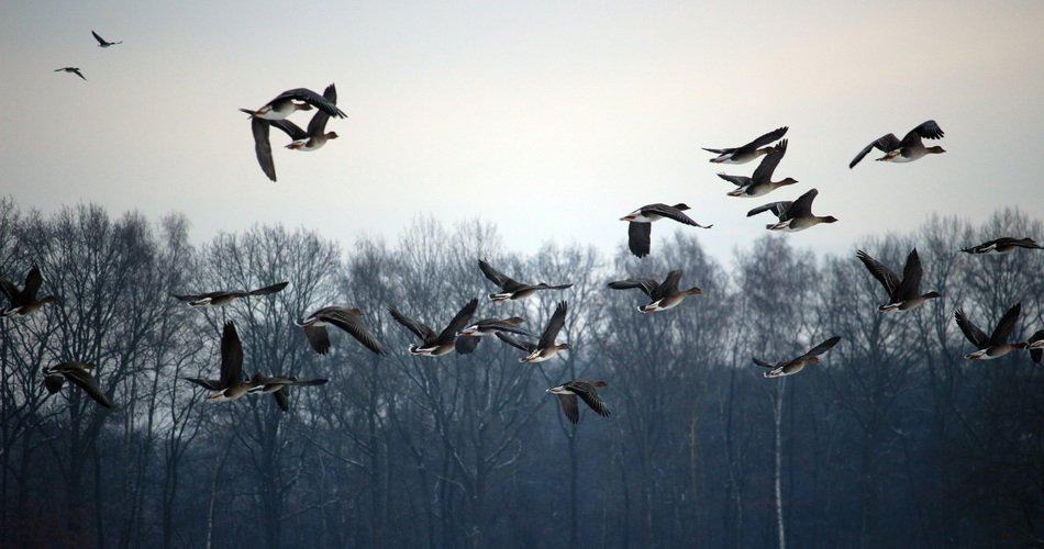 flock of wild geese in winter